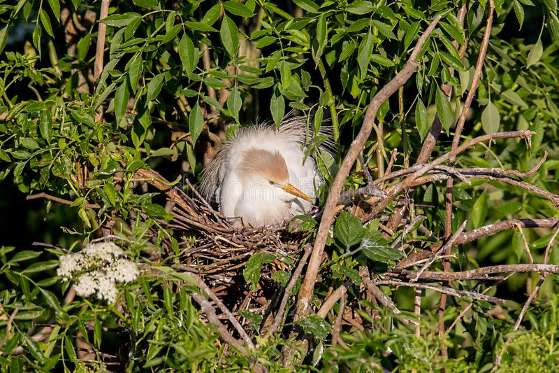 Héron de bétail Roosting sur le nid images stock