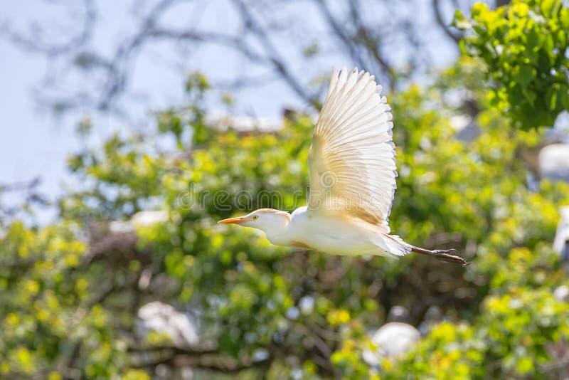 Héron de bétail volant en multipliant le plumage photographie stock