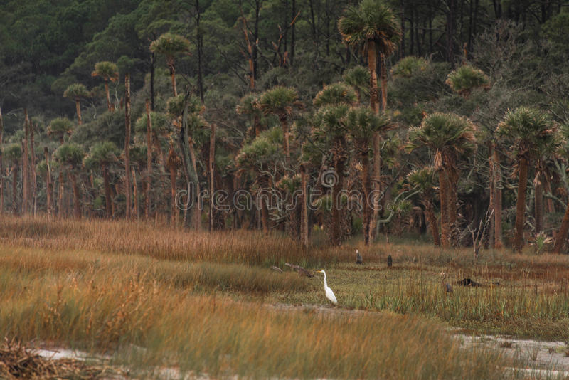 Héron de blanc d'île de chasse photographie stock libre de droits