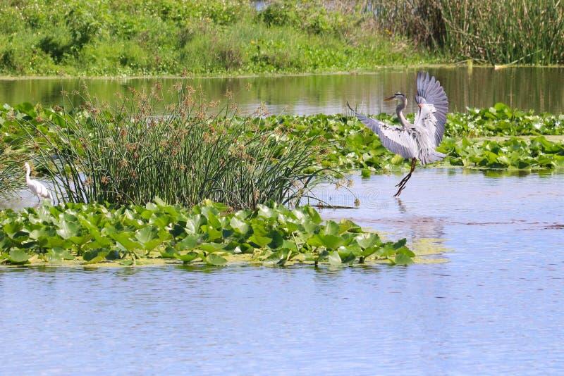 Héron de bleu grand en vol image stock