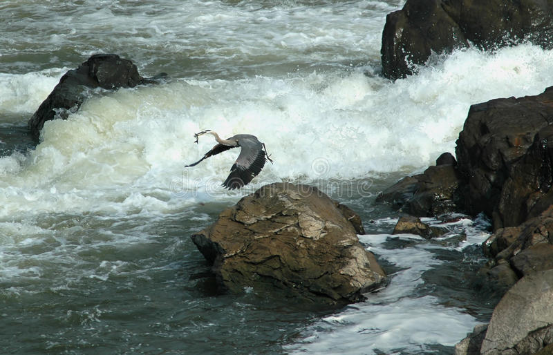 Héron de grand bleu chez Great Falls, le Maryland image stock