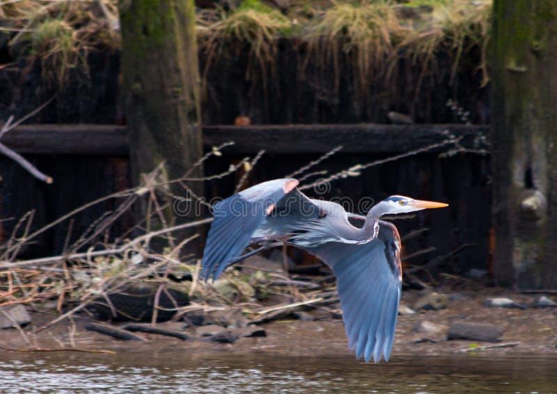Héron de grand bleu dans Astoria, Orégon photos libres de droits