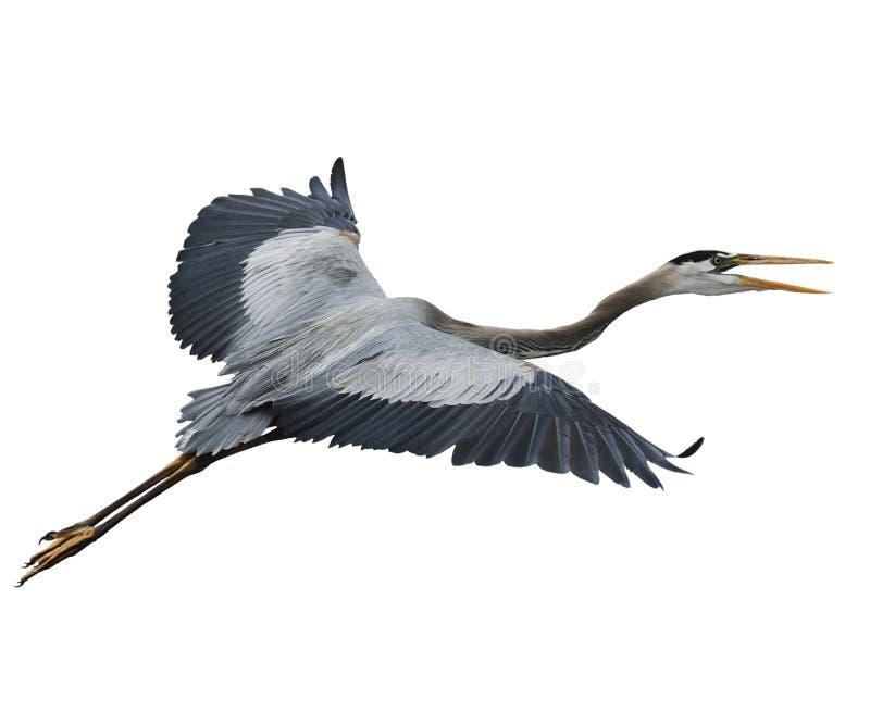 Héron de grand bleu en vol photo libre de droits