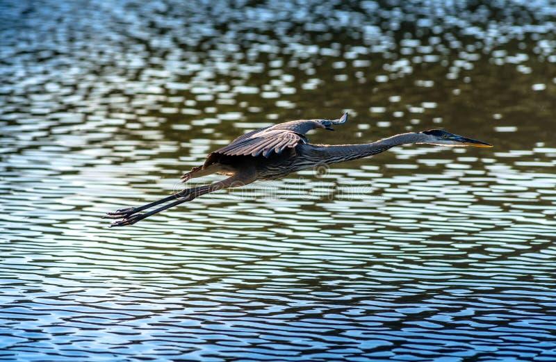 Héron de grand bleu volant au-dessus de l'eau photographie stock