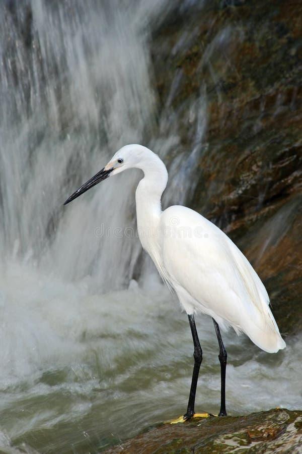 Héron de Milou, thula d'Egretta, oiseau blanc de héron dans la cascade en pierre de roche, Inde photo libre de droits