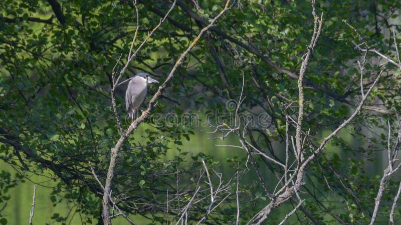 Héron de nuit étendu sur la branche parmi les arbres dans le marais photographie stock