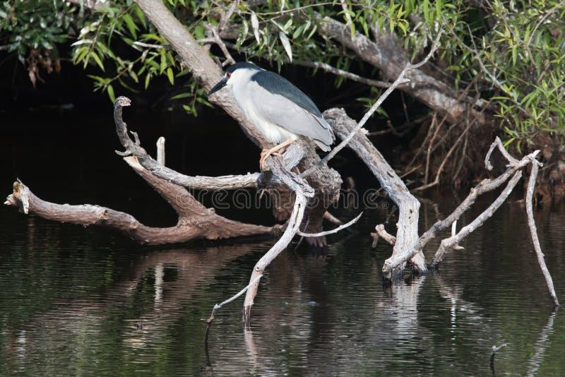 Héron de nuit couronné noir adulte été perché sur une branche au-dessus de l'eau photographie stock