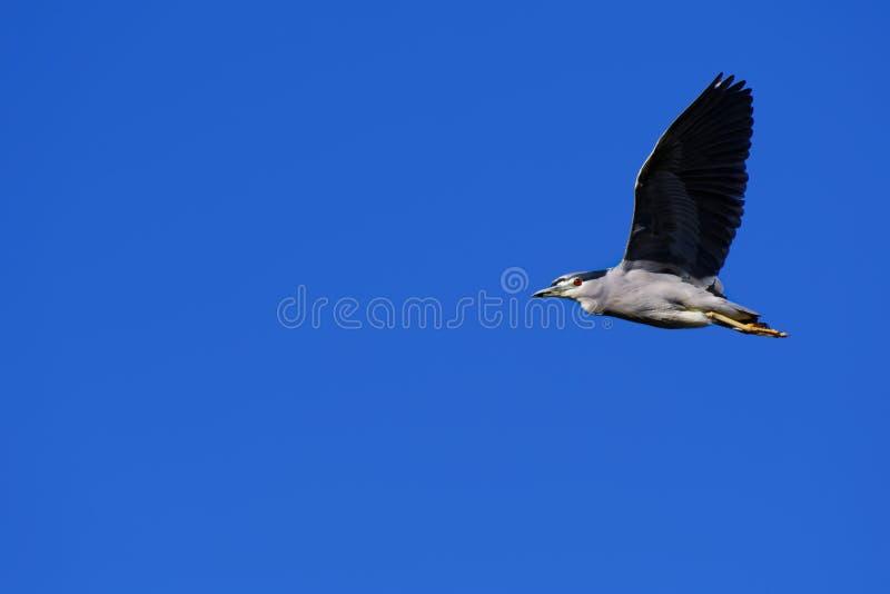 Héron de nuit Noir-couronné par adulte images libres de droits