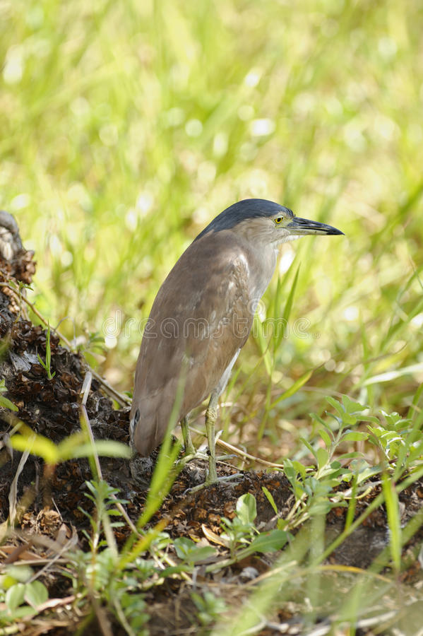 Download Héron De Nuit, Parc National De Kakadu, Australie Photo stock - Image du national, prédateur: 77159596