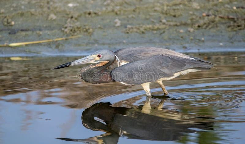 Héron de Tricolored pêchant sur le marais de sel de marée image libre de droits