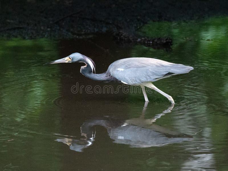 Héron de Tricolored pataugeant dans l'eau vert-foncé photo libre de droits