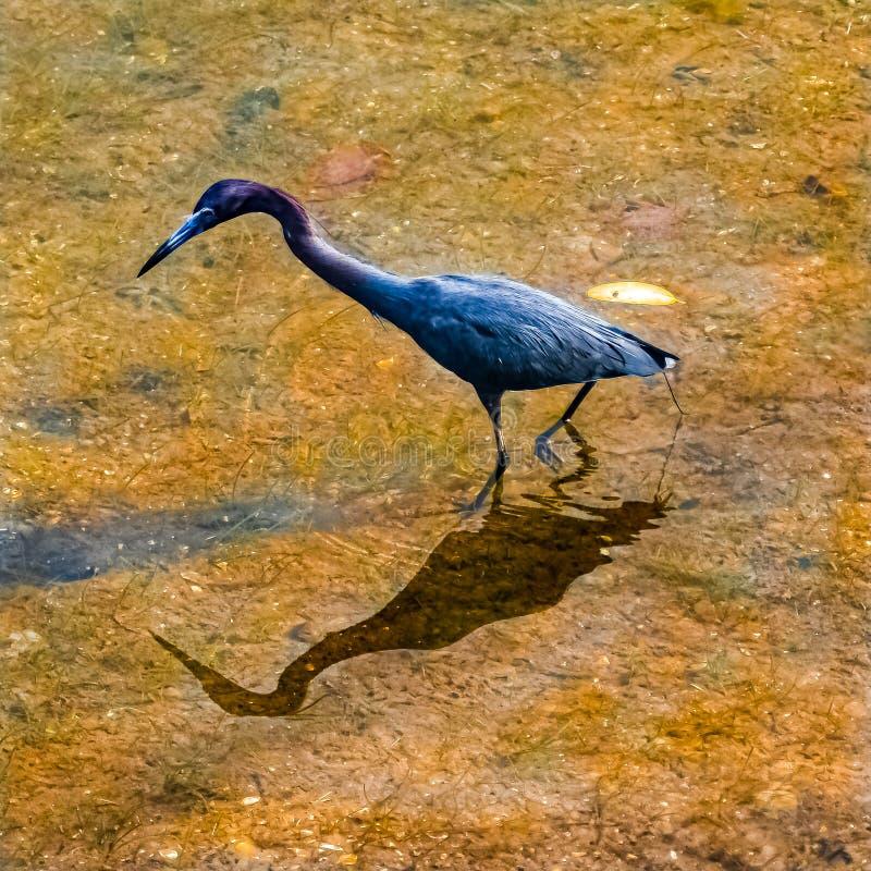 Héron de Tricolored pataugeant dans une lagune de la Floride images stock