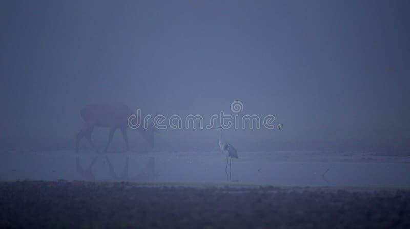 Héron et cerfs communs dans le brouillard photos libres de droits