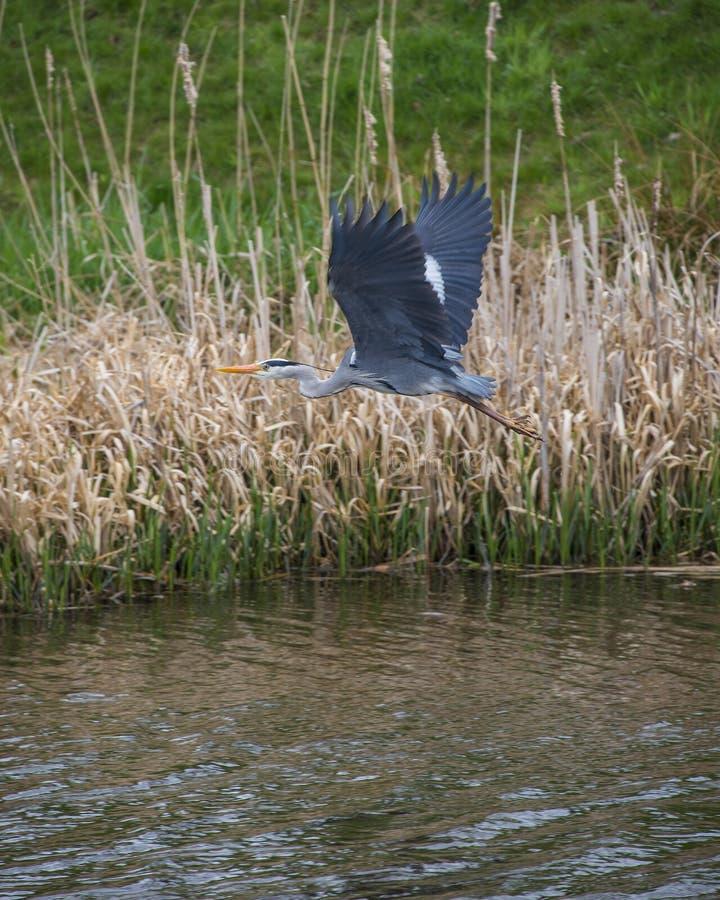 Héron gris image stock