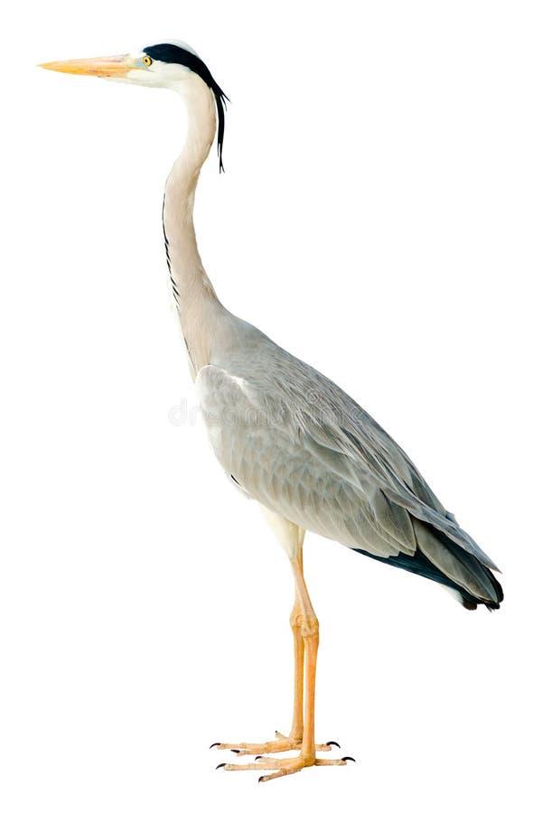 Héron gris photographie stock