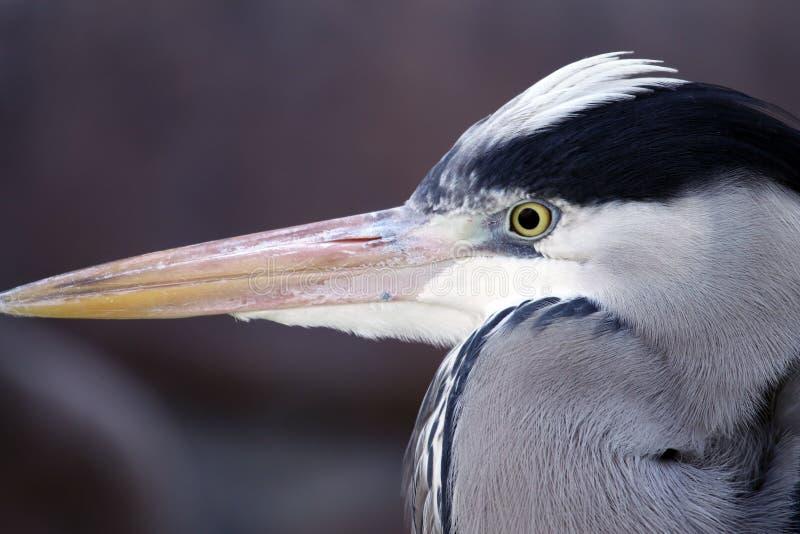 Héron gris (Ardea cinerea) image libre de droits