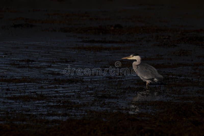 Héron gris, Ardea cinerea, chasse, pêchant, en outre, une basse piscine pendant la lumière rigide de début de la matinée en Ecoss photographie stock libre de droits