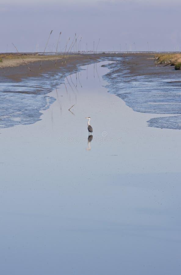 Héron gris dans le canal (reflux) de Noordpolderzijl, Hollande images stock