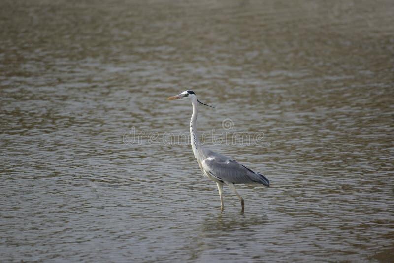 Héron gris (oiseaux migrateurs de Taïwan) photos stock