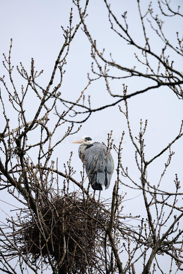 Héron gris par l'emboîtement dans l'arbre nu photo stock
