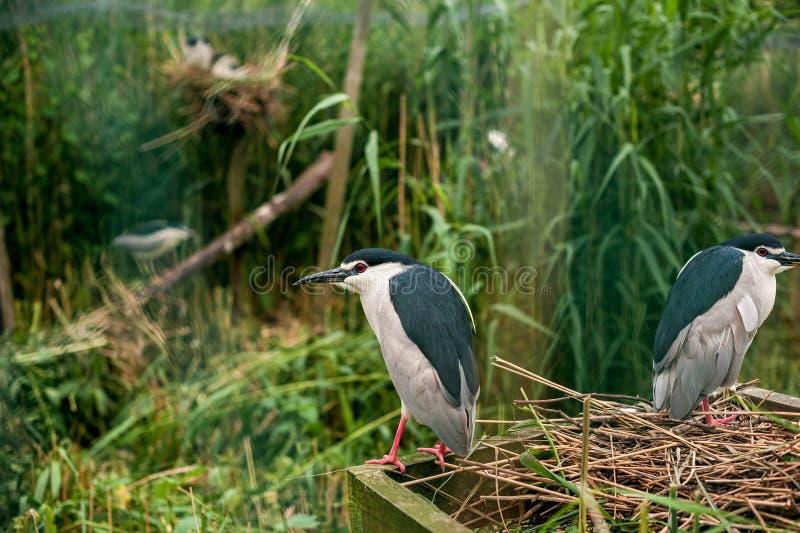Héron nocturne dans le nid Habitants de Feathered du Parc des oiseaux en Allemagne photographie stock