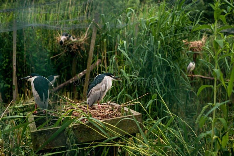 Héron nocturne dans le nid Habitants de Feathered du Parc des oiseaux en Allemagne photos stock