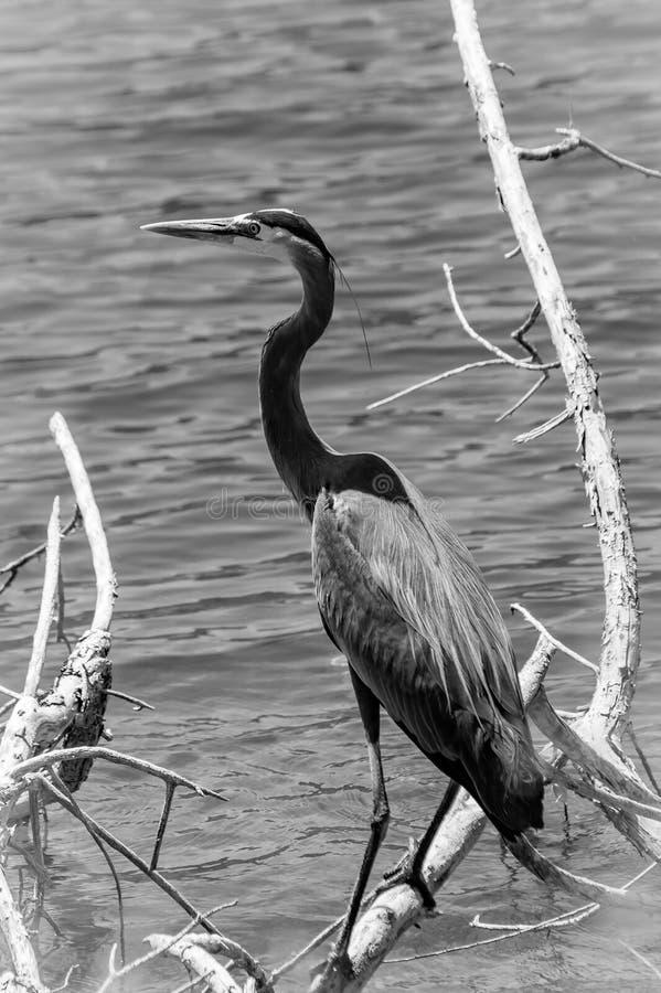 Héron - noir et blanc photographie stock libre de droits