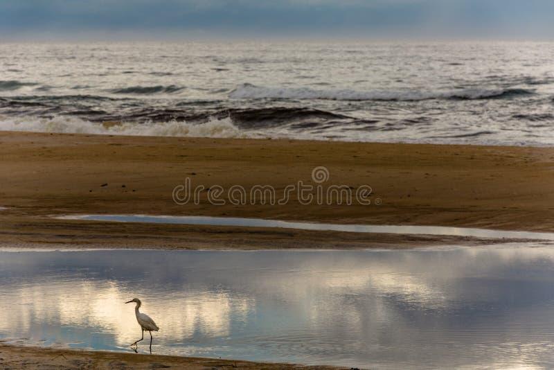 Héron sur le magma de l'eau près de la mer photographie stock libre de droits