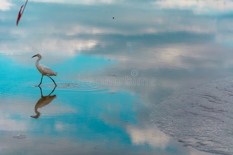 Héron sur une surface réfléchie de l'eau photo libre de droits