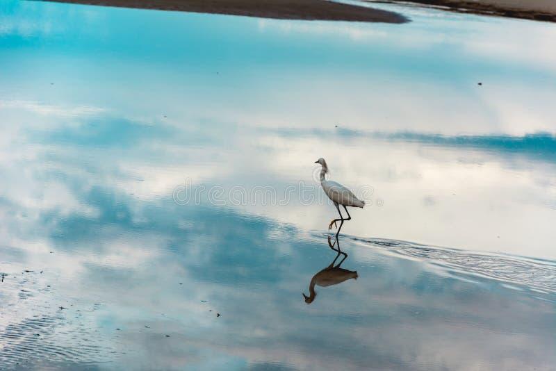 Héron sur une surface réfléchie de l'eau photos stock
