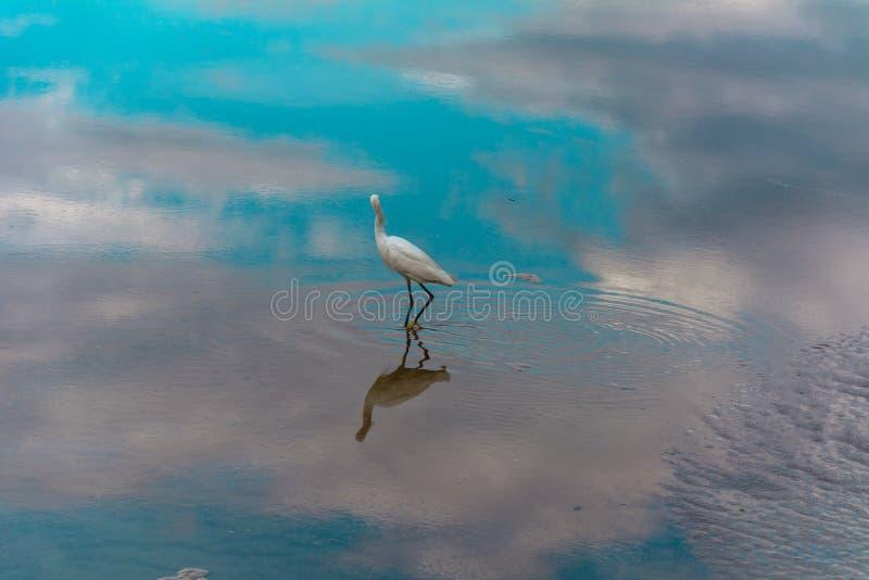 Héron sur une surface réfléchie de l'eau images stock