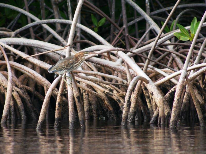 Héron vert dans le palétuvier au petit canal en Guadeloupe image stock