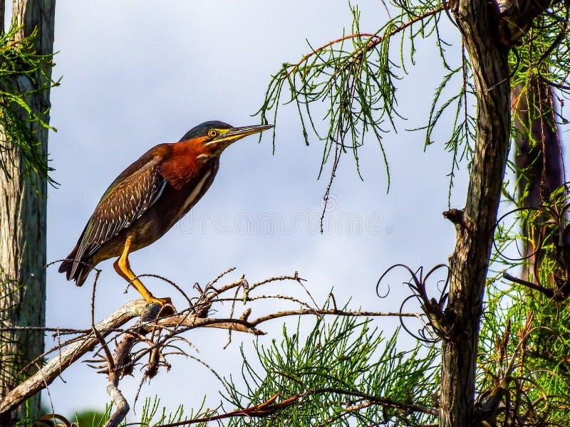 Héron vert, roosting pendant un instant au-dessus d'un étang de marais de marais photographie stock libre de droits