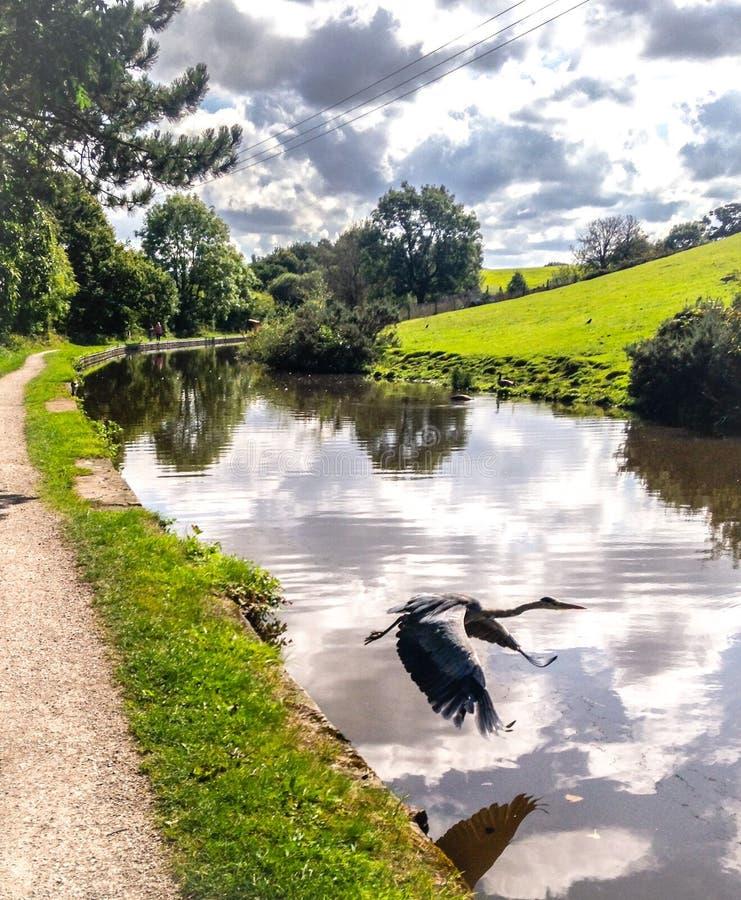 Héron volant au-dessus du canal photographie stock libre de droits