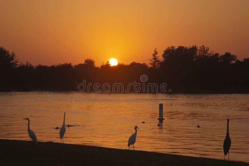 Hérons au coucher du soleil images libres de droits