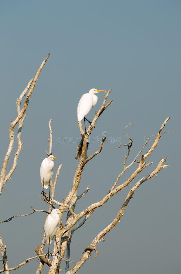 Hérons blancs photographie stock