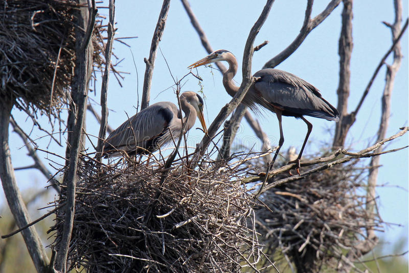 Hérons construisant un nid image libre de droits