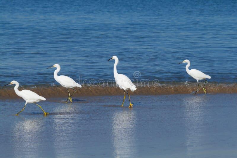 Hérons de Milou flânant le long du rivage photo stock