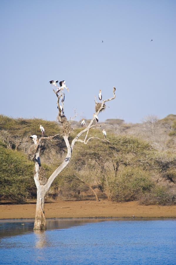 Hérons gris dans un arbre image libre de droits