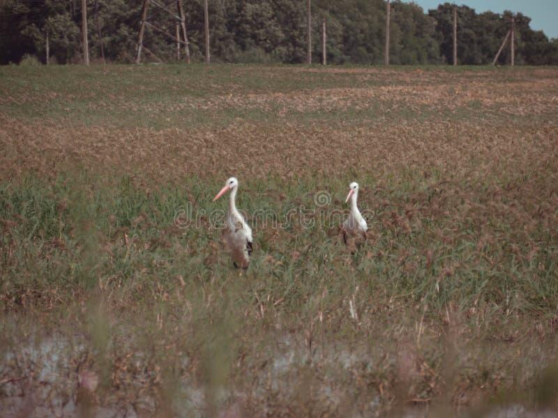 hérons sur le marais photos libres de droits