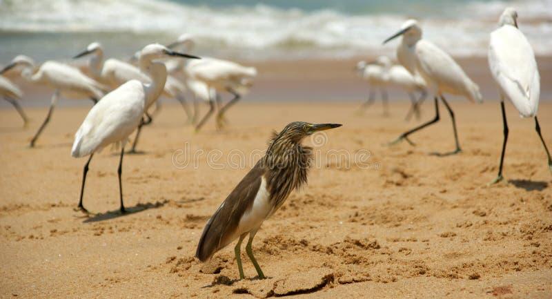 Hérons sur une plage sablonneuse près de l'océan Le Kerala, Inde du sud photos stock