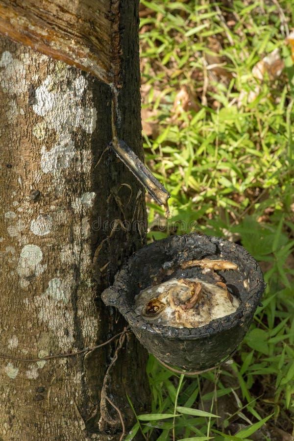 Hévéa du caoutchouc naturel image libre de droits