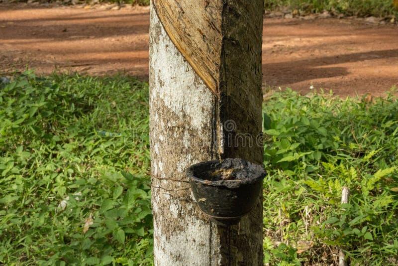 Hévéa du caoutchouc naturel photos stock