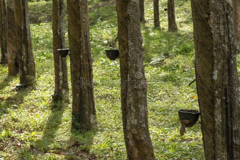Hévéa du caoutchouc naturel photographie stock libre de droits