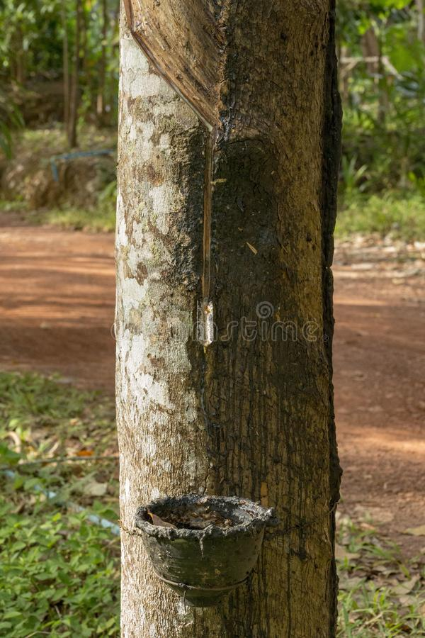 Hévéa du caoutchouc naturel photo libre de droits
