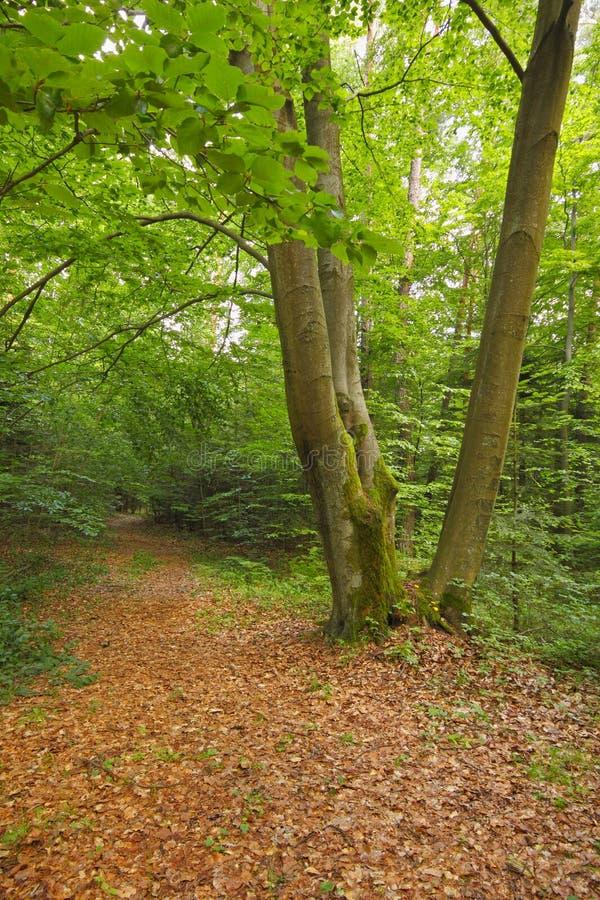 Hêtre trois dans la forêt avec le feuillage tombé sec photo libre de droits