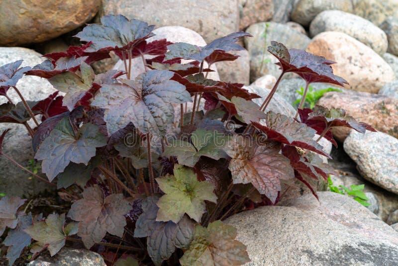 Híbrido constante do heuchera da planta conhecido como a raiz do alume no jardim ornamental no jardim foto de stock