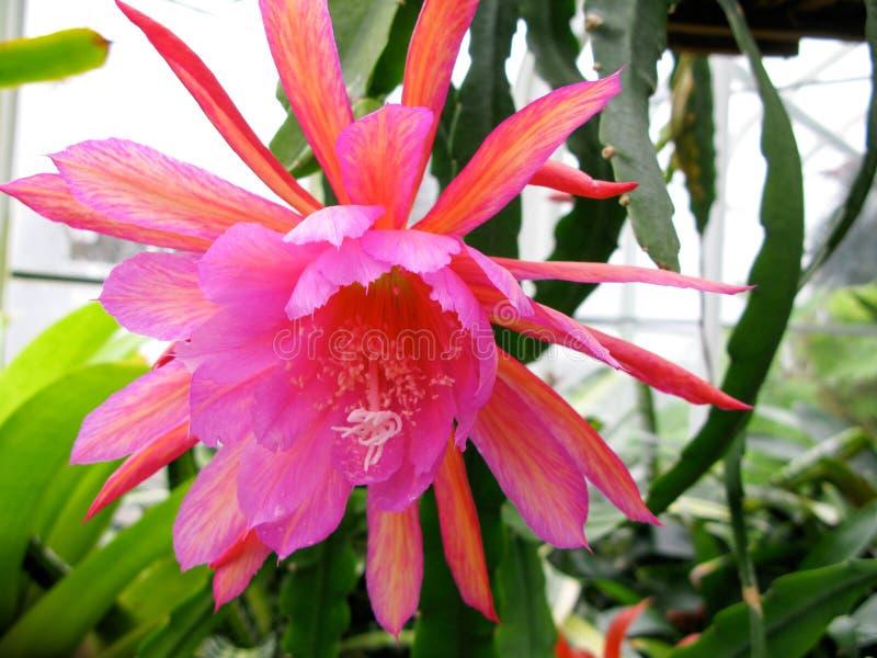 Híbrido cor-de-rosa de Epiphyllum na flor foto de stock royalty free