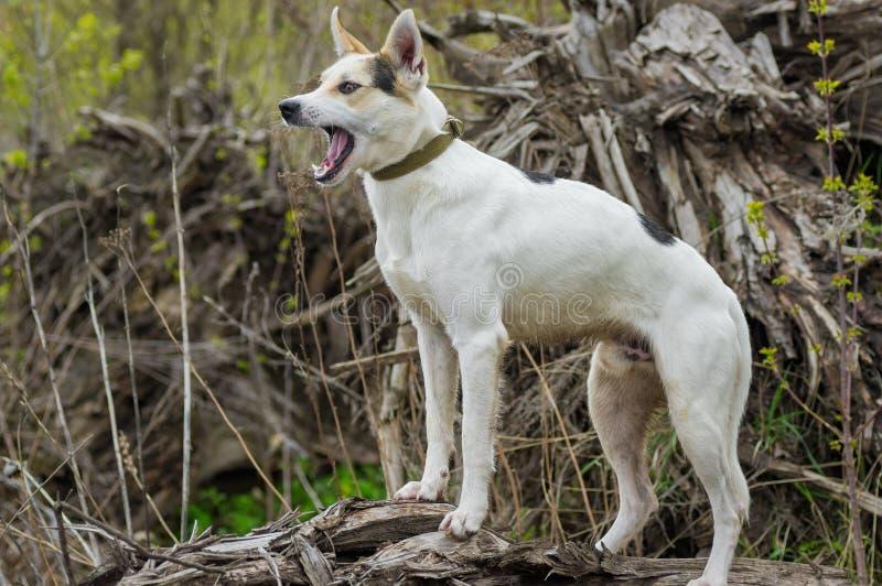 Híbrido de la caza y perro septentrional que se coloca en una raíz del árbol caido fotografía de archivo libre de regalías
