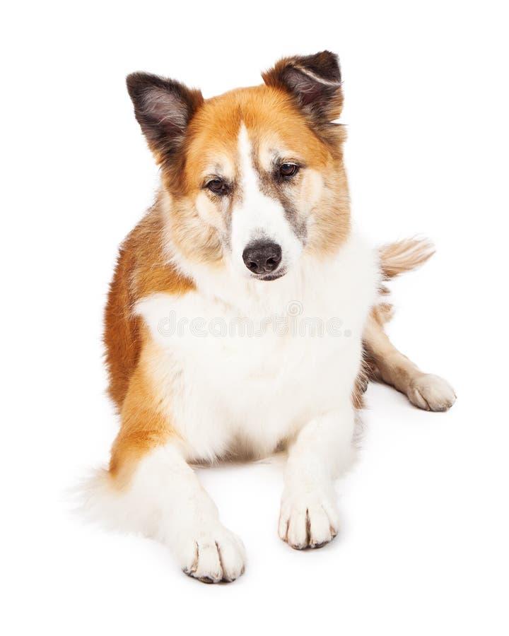 Híbrido do cão pastor que coloca a vista para baixo fotos de stock royalty free